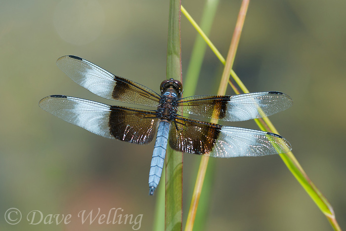 389210014 male widow skimmer libellula luctosa perches on a plant stem along roper lake in roper lake state park cochise county arizona