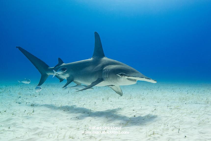 Great Hammerhead Shark, Sphyrna mokarran, Bimini, Bahamas, Atlantic Ocean