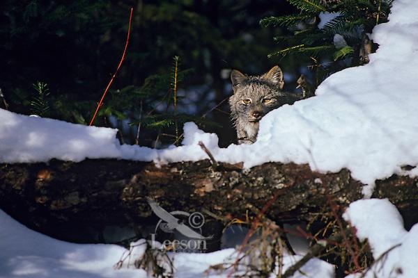 Lynx or Canadian Lynx (Lynx canadensis) hiding.