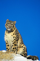 Snow Leopard (Panthera uncia) or (Uncia uncia), Endangered Species