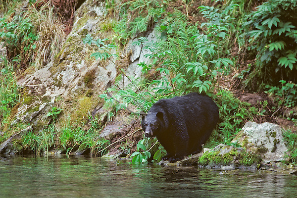 Black Bear along Pacific Northwest stream.