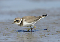 Ringed Plover  Charadrius hiaticula - Juvenile L 17-19cm. Small, dumpy coastal wader. Runs at speed before pausing and picking food item from ground. Note white wingbar in flight. Sexes are separable. Adult male in summer has sandy brown upperparts and white underparts with black breast band and collar. Has black and white markings on face, and white throat and nape. Legs are orange-yellow and bill is orange with dark tip. Adult female in summer is similar but black elements of plumage are duller. Winter adult is similar to summer adult but most black elements of plumage are sandy brown, and has pale supercilium. Leg and bill colours are dull. Juvenile is similar to winter adult but breast band is often incomplete. Voice Utters a soft tuu-eep call. Status Locally common. Nests mainly on sandy or shingle beached, sometimes inland. Coastal outside breeding season; numbers boosted by migrants from Europe.
