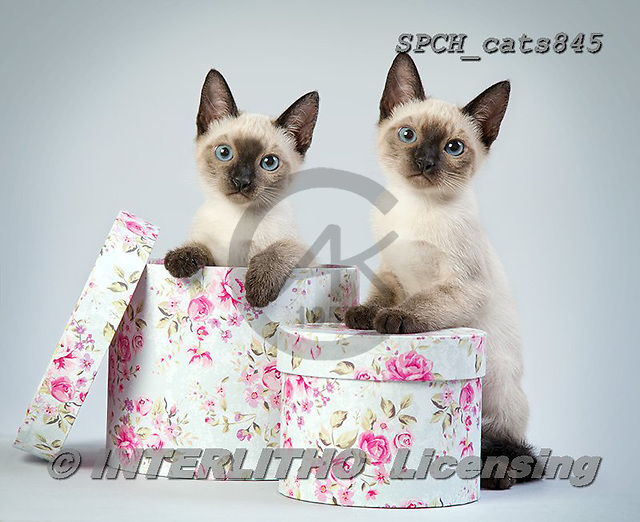 Xavier, ANIMALS, REALISTISCHE TIERE, ANIMALES REALISTICOS, cats, photos+++++,SPCHCATS845,#a#