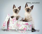 Xavier, ANIMALS, REALISTISCHE TIERE, ANIMALES REALISTICOS, cats, photos+++++,SPCHCATS845,#a#