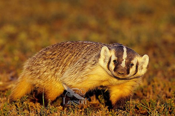 American badger (Taxidea taxus), Western U.S., fall.