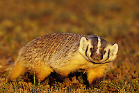American badger (Taxidea taxus), Western U.S., fall.