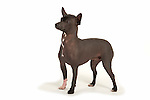 Xoloitzcuintle Dog - Mexican hairless dog - standing