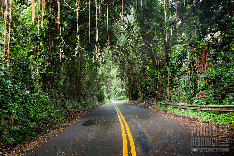 A canopy of trees with hanging vines over Nu'uanu Pali Drive, Honolulu, O'ahu.