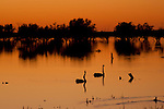 A male black swan (Cygnus atratus) flies to chase the females along Cooper Creek crossing - Birdsville Track flooded with water at sunrise