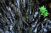 Environment, a single sprout Mangroves in the pacific