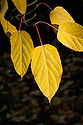 Pere David's maple (Acer davidii), autumn foliage, early May. Also known as snake-bark maple.