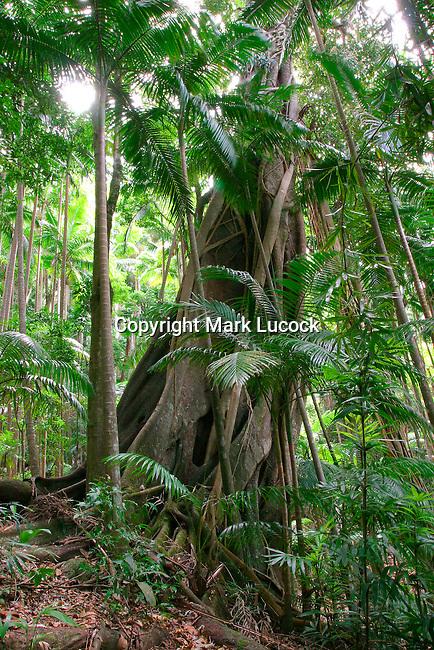 Strangler Fig, Mt Warning National Park, NSW
