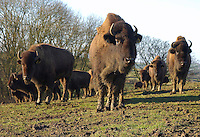 Farmed Bison, Melton Mowbray, Leicestershire.
