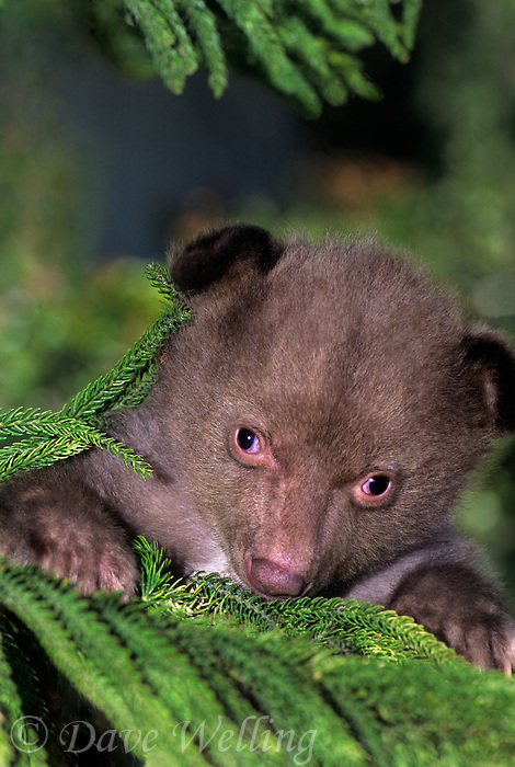 609659143 portrait of a captive wildlife rescue american black bear cub ursus americanus native to north america