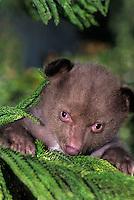 609659143 portrait of a captive wildlife rescue american black bear cub ursus americanus native to north america