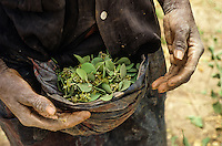 The leaves of Balanites  boilled in water are a very tasty nourishement for rural popoulation in the Sahel- country
