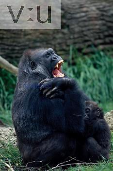 A female Gorilla and her infant. ,Gorilla gorilla, Zoo Hanover, Germany