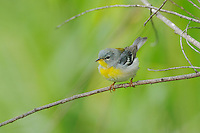 Northern Parula (Parula americana),male, Port Aransas, Mustang Island, Coastal Bend, Texas Coast, USA