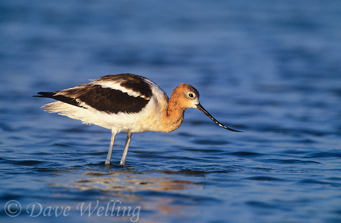 506857008 a wild american avocet recurvirostra americana in breeding plumage stands in shallow water in salton sea national wildlife refuge in california
