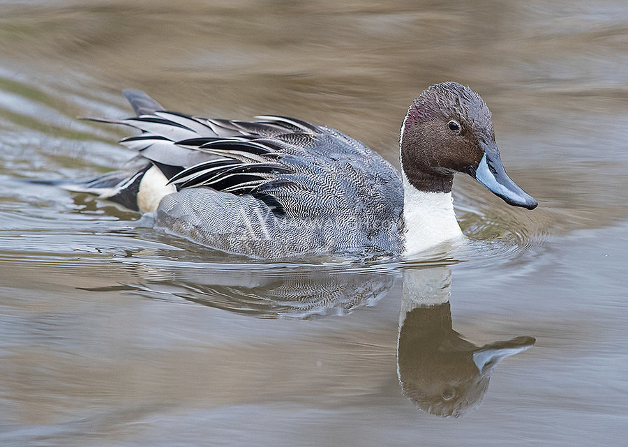A male Northern pintail swims in a canal at Reifel Bird Sanctuary.