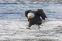 American Bald eagel