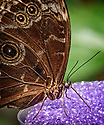August 9, 2016 / Magic Wings Butterfly Conservatory / South Deerfield, MA / Shown: Blue Morpho /  Photo by Bob Laramie