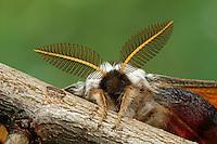 Kleines Nachtpfauenauge, Männchen mit großen Antennen, Fühlern, Saturnia pavonia, Eudia pavonia, Pavonia pavonia, Small Emperor Moth, male, Le Petit paon de nuit, Saturniidae