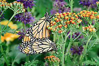 MONARCH BUTTERFLIES (Danaus plexippus)..Mating on Yarrow (Achillea sp.) plant. .Summer. Nova Scotia, Canada.