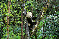Young Giant Panda (Ailuropoda melanoleuca) climbing in tree.  Central China.