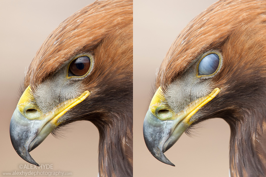Golden Eagle {Aquila chrysaetos} showing protective nictitating membrane over eye. Captive bird, UK.