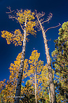 Aspens with Half Moon, Hart Prairie, Arizona