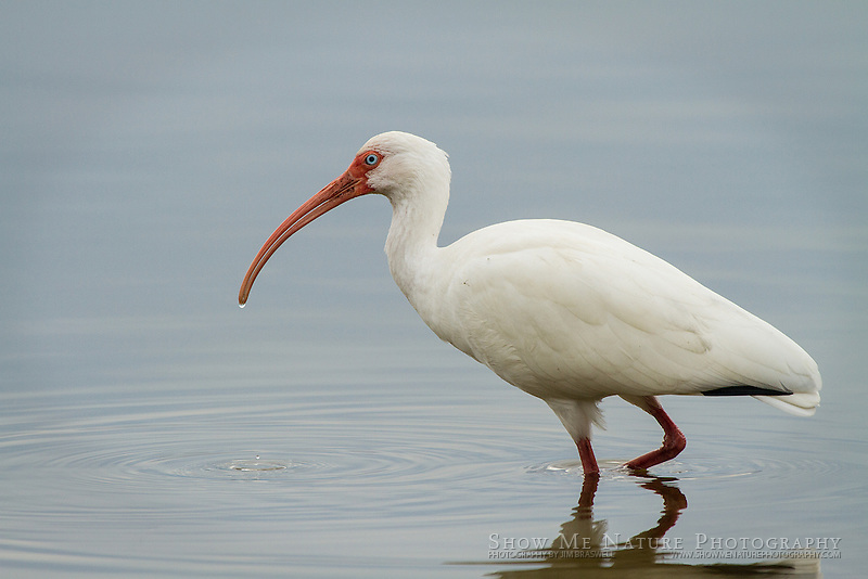 White Ibis foraging in the Myakka River