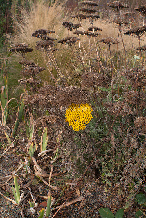 Achillea Coronation Gold dried dry seedheads in fall autumn with ornamental grass, perennials gone to seeds