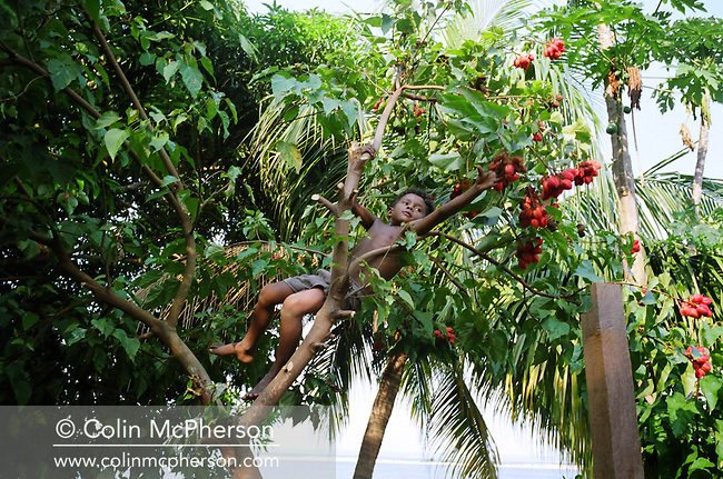 "A young boy picking urucum (which means ""red"" in a local indian language) from a tree. The seeds were ground into a red powder and used as a colouring and to add a light spicy taste in cooking dishes such as fish soup. It was also used as make-up, a sun protection and as an antidode against manioc-poisioning. Villagers along the Tapajos river lived from fruit and vegetable harvested from the rainforest but suffered the effects of deforestation  as the rainforest was cleared by illegal logging and burning for cattle ranching and growing soy beans for export."