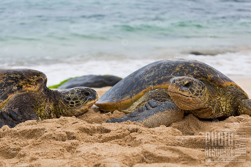 Green sea turtles observe their surroundings on a sandy beach in Hawai'i.