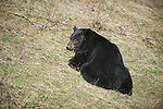 An omnivourous Black Bear foraging on spring grass in conifer forest.   A black bear (Ursus americanus) feeds on spring vegetation in an effort to replace weight lost in winter hibernation.