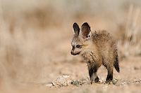 Bat-eared fox pup walking