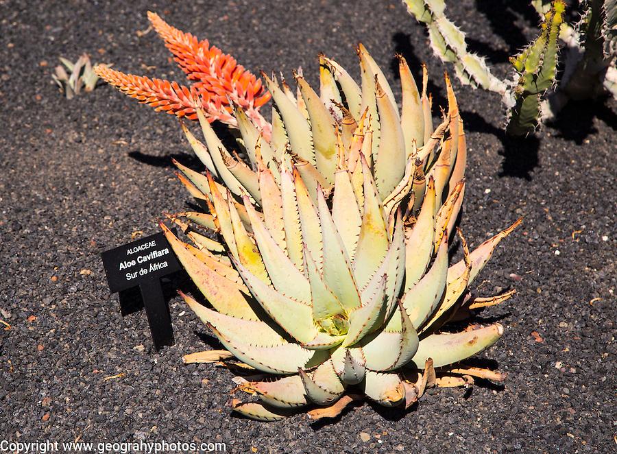Cactus plants inside Jardin de Cactus designed by César Manrique, Guatiza, Lanzarote, Canary Islands, Spain. Aloacaea, Aloe Caviflara, from South Africa