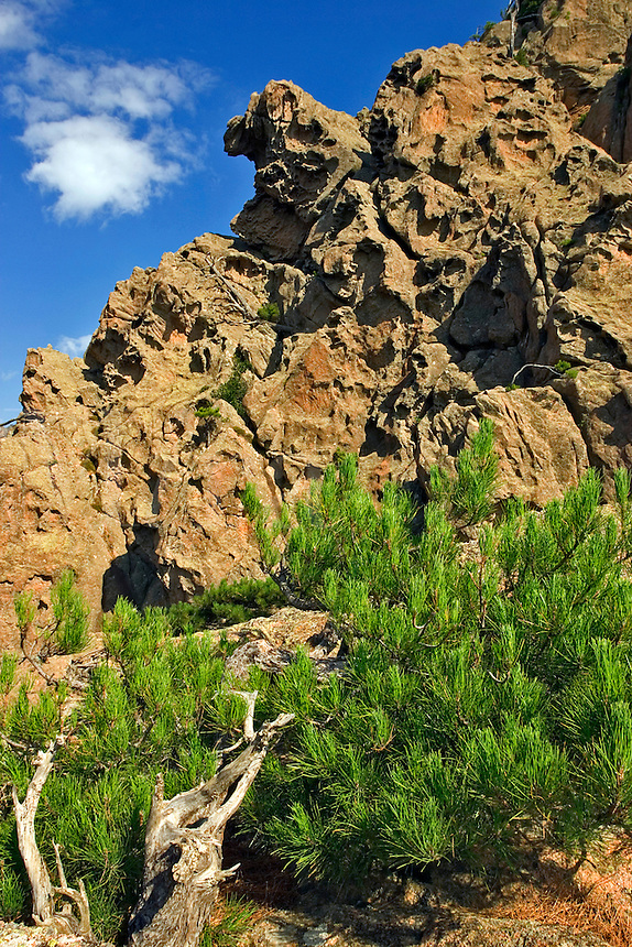 Corsica. Punta Aracale, Bavella.  France. Corse. Stunted pine growing in fissure surrounded by strangely weathered volcanic rock formations..