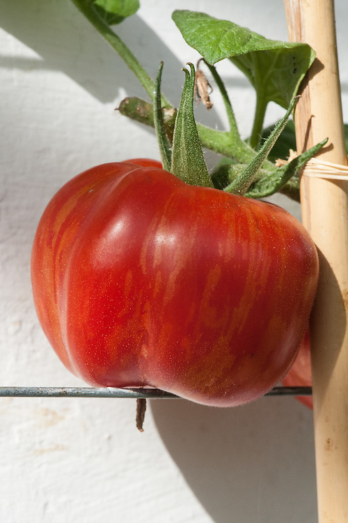 Tomato 'Schimmeig Creg', glasshouse, late September. A striped beefsteak tomato bred by Tom Wagner of Tater Mater Seed, a US private tomato and potato breeder in Washington state. Named in 1985 'Schimmeig Creg', which means 'Striped Rock'. Somewhat tasteless but hollow and with thick walls so good for stuffing.