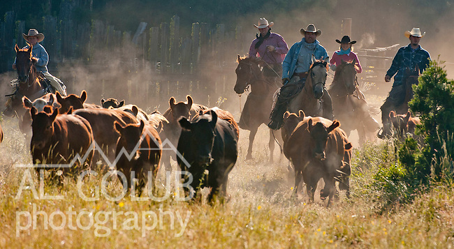 Cowboy Photography Workshop   Erickson Cattle Co. ..Group of cowboys and cowgirl move cattle from back coral... Photo by Al Golub/Golub Photography