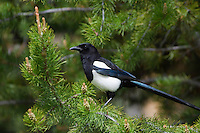 Black-billed Magpie sitting on a lodgepole pine tree.  Western U.S., summer.
