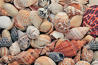 Numerous seashells on display