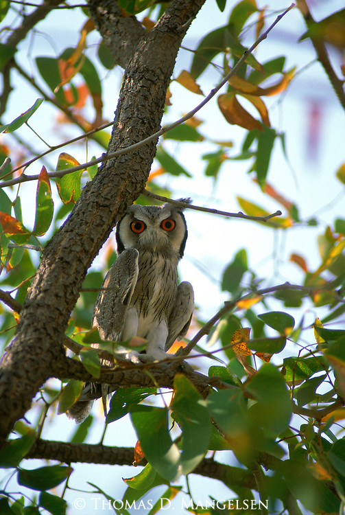 A southern white-faced owl perches in a tree in Etosha National Park.