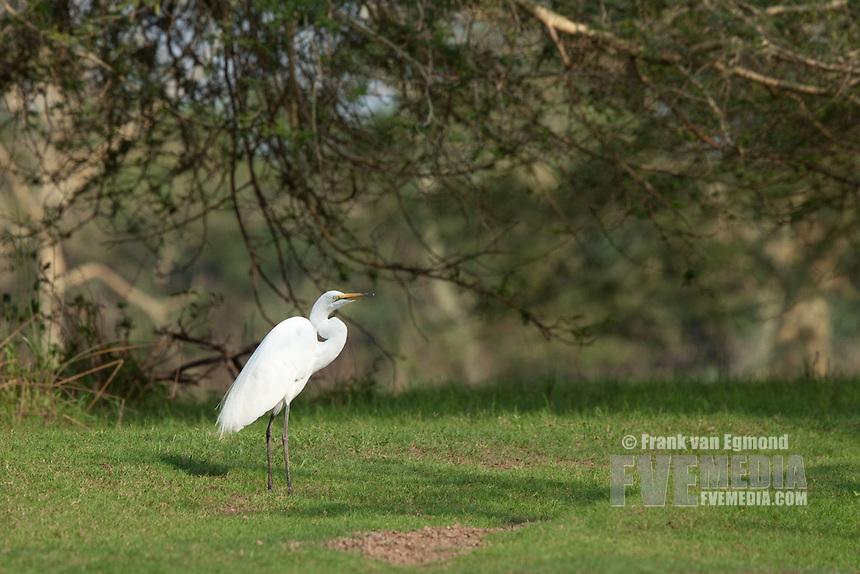 Great Egret (Ardea alba)..Ndumo Game Reserve, Kwazulu-Natal, South Africa. November 2010.