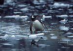 gentoo penguin bathing