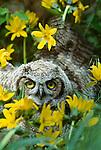 Great horned owl, owlet, Washington