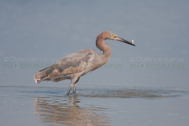 Reddish Egret (Egretta rufescens) - Juvenile with fish, Fort Desoto Park, near St. Petersburg, Florida.