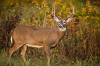 White-tailed buck in autumn
