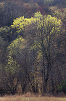 Spring budout in the forest highlights the colors of spring, Sauk County, Wisconsin